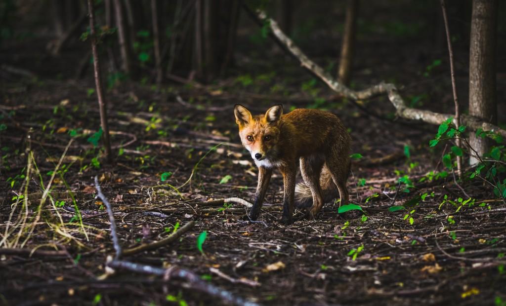 New Year Fox